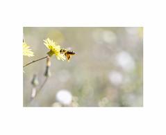 Abeja en vuelo... (EFD-fotolab) Tags: nikkor105mm nikond610 nikon macrofotografia macro naturaleza abeja