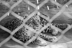 Amur Leopard B&W (Jenna Weller) Tags: blackandwhite bw zoo portrait landscape naturallight softlight outside outdoors bigcat bigcats cat cats feline leopard leopards beautiful pretty mammal animal fur amurleopard