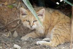 Le réveil du Guerrier (Phil du Valois) Tags: félin chat chatdessables faune sauvage wild wildlife cat