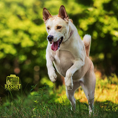 Picture of the Day (Keshet Kennels & Rescue) Tags: adoption dog dogs canine ottawa ontario canada keshet large breed animal animals kennel rescue pet pets field nature summer photography jump leap
