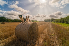 Habitat (FireDevilPhoto) Tags: agriculture nature bale ruralscene field hay summer farm outdoors sky harvesting landscape crop straw meadow yellow goldcolored wheat scenics cloudsky sun dog bordercollie sheepdog redmerle beauty sony a9 laowa wideangle