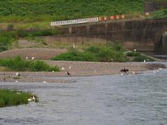 Great egrets,  little egrets, and great cormorants (Greg Peterson in Japan) Tags: shiga yasugawa rivers japan wildlife birds moriyama egretsandherons 野鳥 ダイサギ 野洲川 コサギ カワウ shigaprefecture