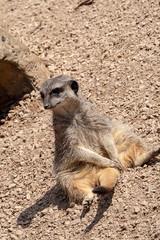 Meerkat (John Fenner) Tags: olympusem1 markii mzuiko 40150mm f28 pro zoom london zoo regents park animals nature meerkat