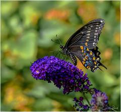 Black Swallowtail (Summerside90) Tags: butterflies insects blackswallowtail august summer backyard garden nature wildlife ontario canada