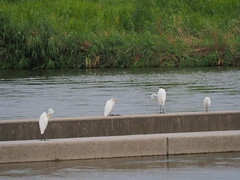Great egrets and a little egret (Greg Peterson in Japan) Tags: shiga yasugawa rivers japan wildlife birds moriyama egretsandherons 野鳥 ダイサギ 野洲川 コサギ shigaprefecture