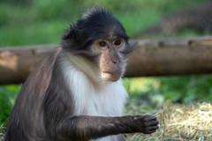 Monkey (John Fenner) Tags: olympusem1 markii mzuiko 40150mm f28 pro zoom london zoo regents park animals nature
