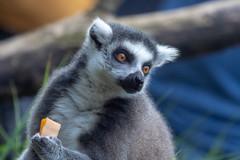 Lemur (John Fenner) Tags: olympusem1 markii mzuiko 40150mm f28 pro zoom london zoo regents park animals nature