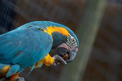 Macaw (John Fenner) Tags: olympusem1 markii mzuiko 40150mm f28 pro zoom london zoo regents park animals nature