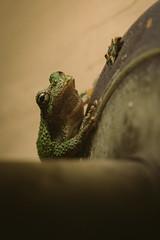 A7_03037 (TeeHeeHaw) Tags: frog a7iii sony amphibian