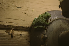 A7_03031 (TeeHeeHaw) Tags: frog a7iii sony amphibian