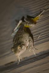 A7_03029 (TeeHeeHaw) Tags: frog a7iii sony amphibian