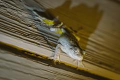 A7_03012 (TeeHeeHaw) Tags: frog a7iii sony amphibian
