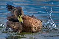 Contortionist (KWPashuk (Thanks for >3M views)) Tags: nikon d7200 tamron tamron18400mm kwpashuk kevinpashuk lightroom luminar duck preening splash wildlife animal portrait nature outdoors lasalle marina burlington ontario canada