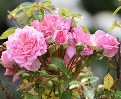 Wild Pink Roses (Jason Prince Photography) Tags: nikon d7200 f4056g nikkor 55200mm craigshill pink roses livingston west lothian scotland