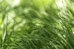 Coastal Grass 4 (Mabry Campbell) Tags: europe gothenburg göteborg storaamundön sweden grass green image intimatelandscape nature photo photograph texture f35 mabrycampbell july 2019 july162019 20190716campbellh6a1206 100mm ¹⁄₁₆₀sec 100 ef100mmf28lmacroisusm