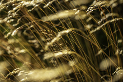 Coastal Wheat Grass 7 (Mabry Campbell) Tags: europe gothenburg göteborg storaamundön sweden amber brown grass image intimatelandscape motion movement nature photo photograph f35 mabrycampbell july 2019 july162019 20190716campbellh6a1199 100mm ¹⁄₁₀₀₀sec 100 ef100mmf28lmacroisusm
