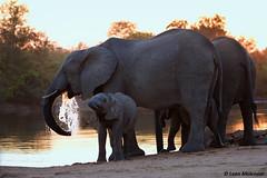 Sunset at Sable dam (leendert3) Tags: leonmolenaar southafrica krugernationalpark naturereserve wilderness wildlife nature wildanimal mammal africanelephant coth coth5