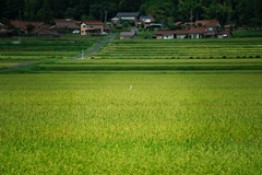 20190820a7r3_9767 (Gansan00) Tags: ilce7rm3 α7rⅲ sony japan 日本 snaps ブラリ旅 landscape rain 8月 yamaguchi tokusa fe70200f4 稲 徳佐 山口県 鷺
