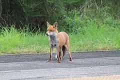 HOLYTOWN FOX (johnwebb292) Tags: holytown motherwell fox