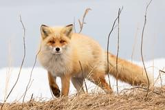 Red Fox (Alexandre & Chloé Bès - Waitandshoot Photography) Tags: canon hunt exterieur nature forest outdoor animal extérieur winter snow wind japon hokkaido neige fox renard roux close red japan de compagnie chien