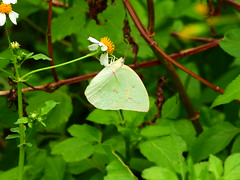 DSCN0833 - #遷粉蝶 (#淡黃蝶) 銀斑型 雄 Catopsilia pomona (Fabricius, 1775)
