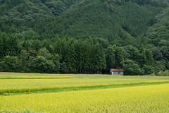 20190820a7r3_9760 (Gansan00) Tags: ilce7rm3 α7rⅲ sony japan 日本 snaps ブラリ旅 landscape rain 8月 yamaguchi tokusa fe70200f4 山口県 徳佐 稲
