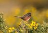 Dartford Warbler IOW-8503317