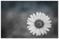 Daisy (Ken Mickel) Tags: africandaisy beautiful floral flower flowers kenmickelphotography plants blackandwhite blossom blossoms botanical closeup daisy nature photography