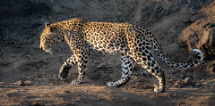 Illuminated Leopard (alicecahill) Tags: africa wild southafrica ©alicecahill ngalaprivategamereserve cat wildlife sonya9 feline leopard animal
