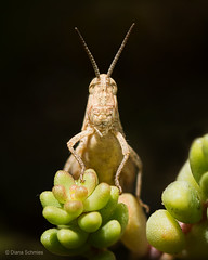 Grasshopper (diana.enroute) Tags: wildlife wild wildlifephotography nature natur outdoors animal tier animalphotography animalportrait tierfotografie tierportrait insekt insektenfotografie insect insectphotography insectportrait grasshopper grashuepfer frontal frontalview lookatcamera closeup macro macrophotography makro makrofotografie darkbackground dunklerhintergrund isolated freigestellt spotlight dramaticlight summer