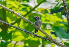 Lifer Anna's Hummingbird (FluvannaCountyBirder754) Tags: annashummingbird multnomahcounty oregon portland mttaborpark hummingbird bird nature outdoor outdoors outside animal creature nikon nikond500 pacificnorthwest