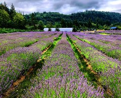 Lavender Lush (Pennan_Brae) Tags: britishcolumbia chilliwack plants violet peaceful beautiful trees nature mountains agriculture purple flowers farm lavender