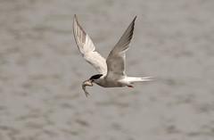 Common tern. (dave harrison143) Tags: birds common tern