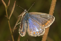 Common Blue (Polyommatus icarus), f (bramblejungle) Tags: common blue butterfly polyommatus icarus lepidoptera