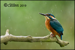 Male Kingfisher (David E Cassells) Tags: king fisher kingfisher commonkingfisher alcedoatthis eurasiankingfisher fish bird eurasian nature photography canon1dx canonef300mmf28lisiiusm northern ireland alcedo atthis animal rain