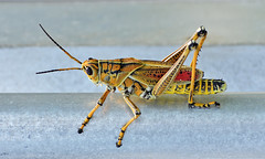 Eastern lubber grasshopper (ToastyX) Tags: eastern lubber grasshopper insect animals wildlife nature