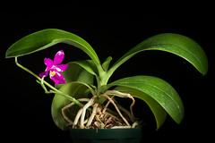 [Philippines] Phalaenopsis pulchra 'Oscar' (Rchb.f.) H.R.Sweet, Amer. Orchid Soc. Bull. 37: 1102 (1968)