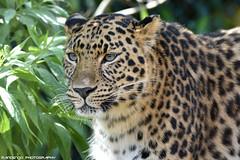 Amur leopard - Zoo Amneville (Mandenno photography) Tags: animal animals dierenpark dierentuin dieren ngc nature natgeo natgeographic france frankrijk bigcat big cat cats amur leopard amurleopard discovery zoo zooamneville amneville