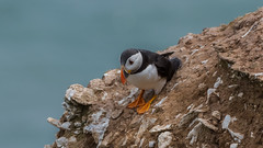 Puffin ( Fratercula arctica ) Juv (Dale Ayres) Tags: puffin fratercula arctica juv bird nature wildelife rocks