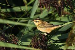 Sedge Warbler (robin elliott photography) Tags: sedgewarbler bird birds nature outdoors wild wildlife feathers wings nikon nikond850