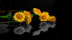 Daisies (anlgngr7) Tags: canon eos 77d 18135mm is usm nano lens flower flowers daisy golden çiçek çiçekler papatya papatyalar reflection yansıma siyahbeyaz blackwhite bw camomile marguerite plant plants bitki bitkiler yellow sarı daisies