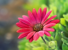 Bloom with grace (Through Serena's Lens) Tags: osteospermum flower bokeh dof plant outdoor macro nature canoneos6dmarkii red stilllife