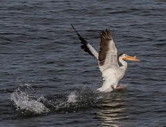 American White Pelican (Sugardxn) Tags: sugardxn garypentin northwest columbiariver oregon canon canoneos20d canon20d americancruiselines bird fowl pelicanbump