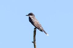 _U7A9640 (rpealit) Tags: scenery wildlife nature edwin b forsythe national refuge brigantine eastern kingbird bird