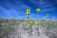 Wild sunflowers against a vivid blue sky in Cottonwood Canyon in Grand Staircase-Escalante National Monument in southern Utah (diana_robinson) Tags: wildsunflowers wildflowers cottonwoodcanyon grandstaircaseescalantenationalmonument southernutah utah remote noone yellowflowers bluesky parched desert