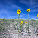 Wild sunflowers against a vivid blue sky in Cottonwood Canyon in Grand Staircase-Escalante National Monument in southern Utah