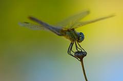 (Anisoptera) (Capturedbyhunter) Tags: fernando caçador marques fajarda coruche sorraia ribatejo santarém portugal pentax k5 smcfa10028mqcro fa 100mm f28 macro libélula dragonfly anisoptera bokeh dof nature natureza
