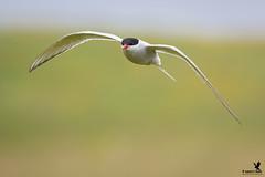 Arctic Tern (Osprey-Ian) Tags: grimseyisland arctictern iceland
