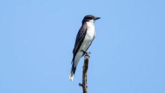 _U7A9653 (rpealit) Tags: scenery wildlife nature edwin b forsythe national refuge brigantine eastern kingbird bird