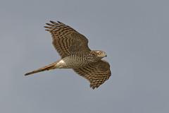 Eurasian sparrowhawk (scubahenlik) Tags: raptor bird nature ishøjstrandpark denmark aves accipitridae spurvehøg